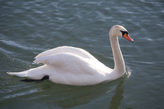 Side view closeup of a graceful cygnus olor mute swan Stock Image