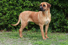 Side view closeup of a japanese bandog tosa inu in the green Royalty Free Stock Photos