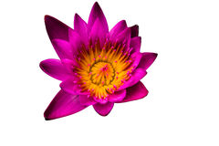 Side view, Closeup pink lotus flowers small bloom Royalty Free Stock Photos