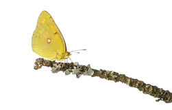Side view of a Clouded Sulphur on a branch, Colias philodice Royalty Free Stock Image