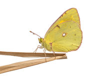 Side view of a Clouded Sulphur landed on a thin branch Stock Photo