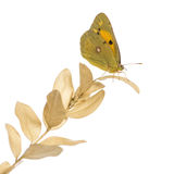 Side view of a Clouded Sulphur on a plant, Colias philodice Stock Photos