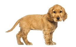 Side view of a Cocker puppy standing, looking at the camera stock photos