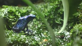 Side view of a colorful blue poison frog sitting on moss