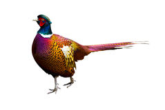 Side view of a colorful common pheasant isolated on wh Stock Image