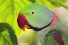 Alexandrine Parrot Profile. Side view of the colorful head of an Alexandrine Parrot, native to India Royalty Free Stock Photo