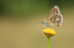 The side view of a Common Blue Butterfly, Polyommatus icarus , perched on a flower nectaring. Royalty Free Stock Photo