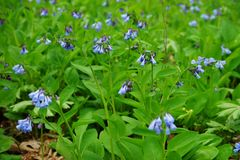 Side view of Common Bluebell flowers up close over green vegetation background. Royalty Free Stock Images