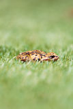 Side View of Common Frog in Grass Royalty Free Stock Images