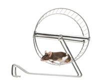 Side view of a Common house mouse running in a wheel. Mus musculus, isolated on white Stock Image