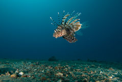 Side view of a Common lionfish (Pterois miles) Stock Photo