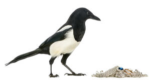 Side view of a Common Magpie with jewellery, Pica pica, isolated Stock Images