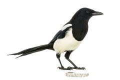Side view of a Common Magpie with a jewellery, Pica pica Stock Photos