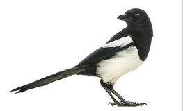 Side view of a Common Magpie looking backwards, Pica pica Royalty Free Stock Images