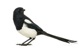 Side view of a Common Magpie, Pica pica, isolated Stock Image