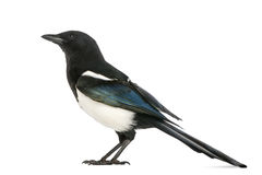 Side view of a Common Magpie, Pica pica, isolated Stock Photo