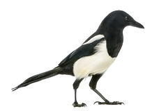 Side view of a Common Magpie, Pica pica, isolated Royalty Free Stock Image