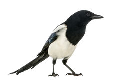 Side view of a Common Magpie, Pica pica, isolated Stock Photography