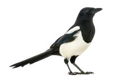 Side view of a Common Magpie, Pica pica, isolated Stock Images
