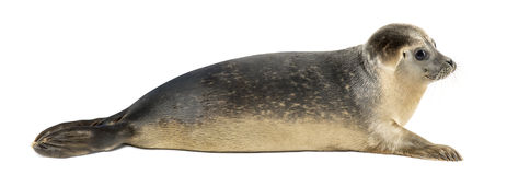 Side view of a Common seal lying, 8 months old, isolated Stock Photography