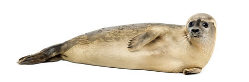 Side view of a Common seal lying on the side, Phoca vitulina royalty free stock images