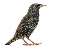 Side view of a Common Starling, Sturnus vulgaris, isolated. On white Royalty Free Stock Photo