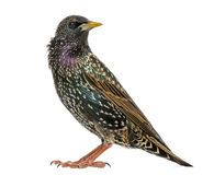 Side view of a Common Starling, Sturnus vulgaris, isolated Stock Photo