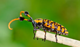 Side view of common tuft-bearing longhorn hanging on  leaf Stock Images