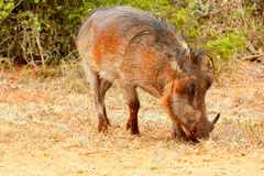 Side view of a common warthog eating grass Stock Photo