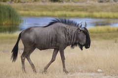 Side view of a Common Wildebeest Royalty Free Stock Image