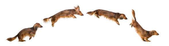 Side view Composition of a Dachshund Stock Photography