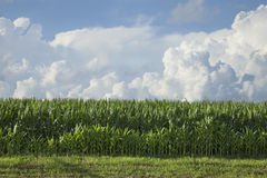 Side view of corn below dramatic clouds on a summer afternoon Royalty Free Stock Photos