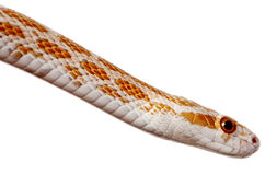 Side view of Corn snake or red rat snake Stock Photos