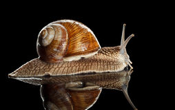 Side view of crawl snail Royalty Free Stock Image