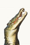 Side view of crocodile over white background Stock Images