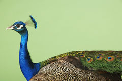 Side View Of Cropped Peacock Stock Photo