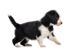 Side view of a crossbreed puppy walking isolated on white Stock Photography