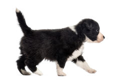 Side view of a crossbreed puppy walking isolated on white Royalty Free Stock Image