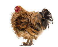 Side view of a Crossbreed rooster, Pekin Stock Photos
