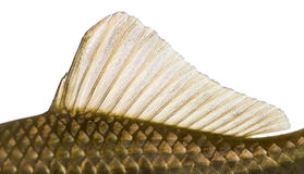 Side view of a Crucian carp's dorsal fin, Carassius carassius Royalty Free Stock Photos