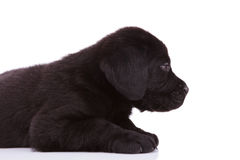 Labrador retriever puppy dog looking very tired Stock Photo