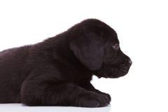 Labrador retriever puppy dog looking very tired stock photo