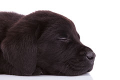Labrador retriever puppy dog's head sleeping Stock Images