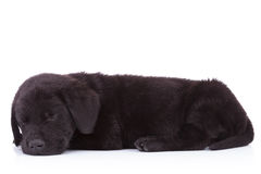 Side view of a cute black labrador retriever sleeping Royalty Free Stock Image