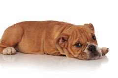 Side view of cute english bulldog puppy resting Stock Photos