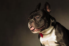 Side view of a cute french bulldog with mouth open Stock Image
