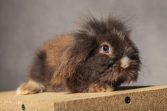 Side view of a cute lion head rabbit bunny sitting Royalty Free Stock Images