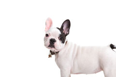 Side view of a cute little french bulldog puppy Royalty Free Stock Image