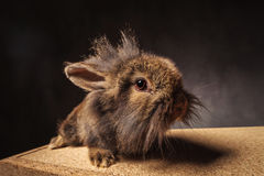 Side view of a cute little lion head bunny rabbit Stock Images