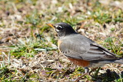 Close-up of Robin Stock Photography